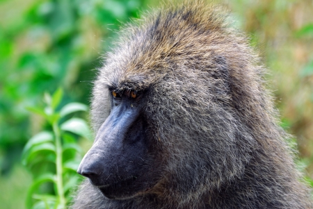 Close up portrait of baboon, Nakuru lake national park, Kenya Stock Photo - 13942108
