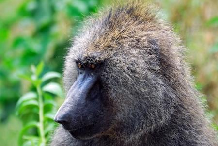 Close up portrait of baboon, Nakuru lake national park, Kenya Stock Photo - 13942108