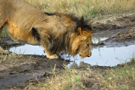 Adult lions male in the Masai Mara park, Kenya photo