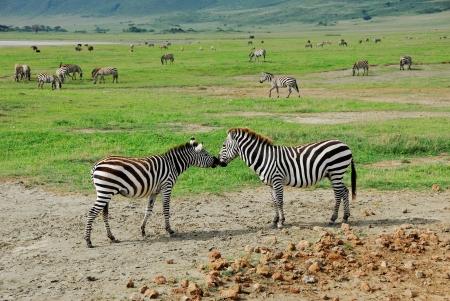 Two zebras in Ngorongoro crater, Tanzania