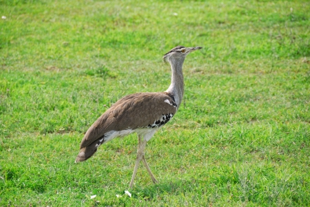 large bird: Kori Bustard (Ardeotis kori) is a large bird native to Africa
