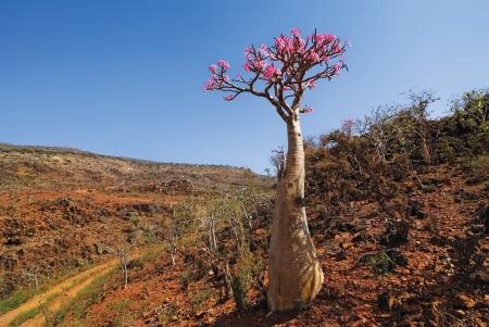 Bottle tree- endemic tree of Socotra Island