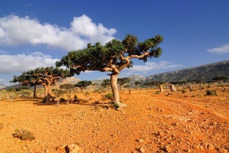 plateau of flowers: Endemic trees of the Socotra Island, Yemen  Typical Socotra landscape, unusual plant against mountains  Stock Photo