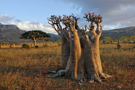 endemic: Bottle tree - endemic tree of Socotra Island  Stock Photo