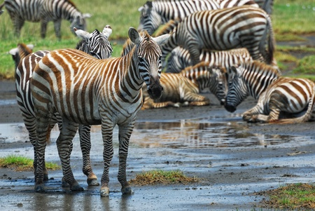 nakuru: Zebras herd in the Nakuru lake national park, Kenya