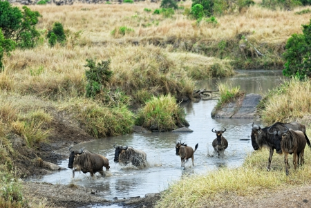 Wildebeest antelopes crossing river, Masa Mara photo