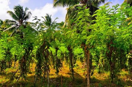 Vanilla plantation. Seychelles, La Digue