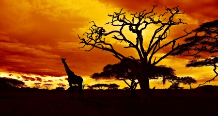 savanna: African sunset in the savannah with silhouette of giraffe and dead acacia tree, Tanzania.