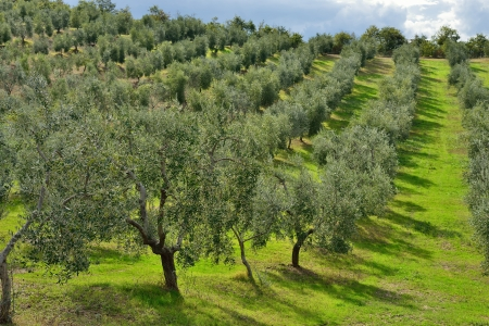 agriturismo: Idyllic Tuscan rural  landscape  with olives trees, Vall d Stock Photo