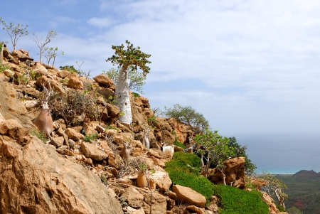 Endemic trees of Socotra Island, Yemen. Cucumber tree and bottles trees Stock Photo - 18563683