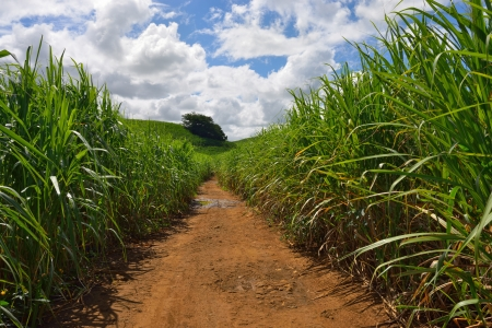 Dirt road among sugarcane plantation  Mauritius  photo