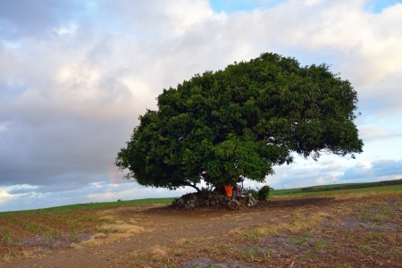 Solitary big tree at sunset time in sugarcane farmland, Mauritius photo