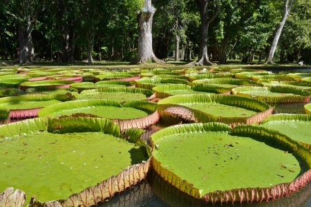 Giant, amazonian lily in water at the Pamplemousess botanical Gardens in Mauritius  Victoria amazonica, Victoria regia  Imagens
