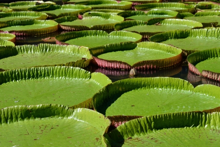 Giant, amazonian lily in water at the Pamplemousess botanical Gardens in Mauritius  Victoria amazonica, Victoria regia photo