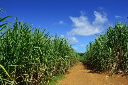 Dirt road among sugarcane plantation  Mauritius