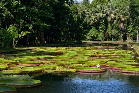 lirio de agua: Gigante, amaz�nico lirio en el agua en los jardines bot�nicos Pamplemousess en Mauricio. Victoria amazonica, Victoria regia Foto de archivo