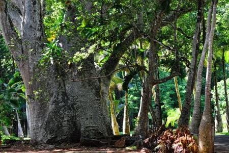 Trunk of baobab tree, Mauritius island , Africa
