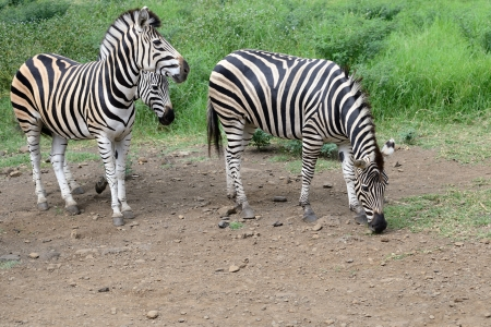 Zebras on the road in Casela park, Mauritius island