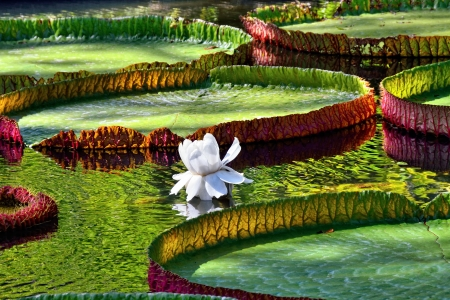 Giant, amazonian lily in water at the Pamplemousess botanical Gardens in Mauritius  Victoria amazonica, Victoria regia