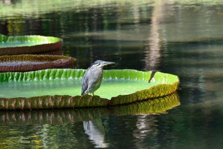 Bird sits on giant, amazonian lily in water at the Pamplemousess botanical Gardens in Mauritius  Victoria amazonica, Victoria regia photo