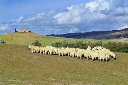 Idyllic Tuscan landscape with sheeps near Pienza, Vall d