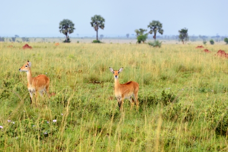 Antelopes reedbuck in the Murchison Falls national park at early morning time,  Uganda