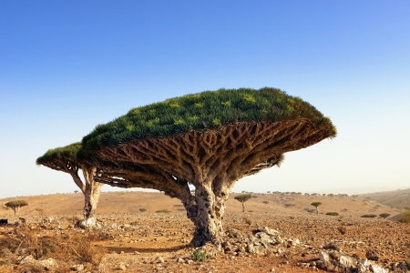 Endemic plant Dragon Blood Tree in the island Socotra Imagens - 22850470