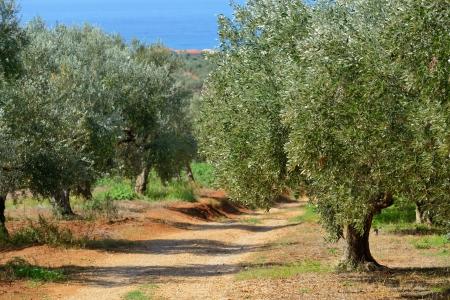 messinia: Dirt road among olive trees under bright sunlight on the sea shore. Kalamata, Messinia, Greece