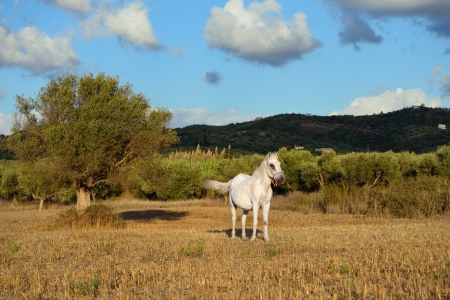 messinia: Rural landscape with white horse and olive tree at sunset. Messinia, Greece