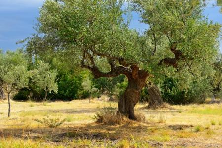 messinia: Olive trees under bright sunlight against thunderstorm sky. Kalamata, Messinia, Greece