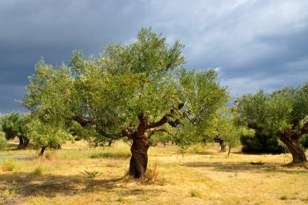 Olive trees under bright sunlight against thunderstorm sky  Kalamata, Messinia, Greece