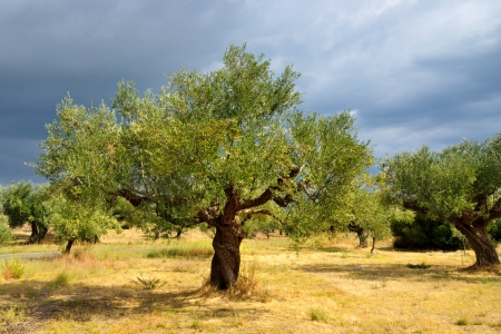 Olive trees under bright sunlight against thunderstorm sky  Kalamata, Messinia, Greece