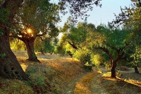 Dirt road among olive trees under bright sunlight beams  Kalamata, Messinia, Greece