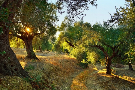 Dirt road among olive trees under bright sunlight beams  Kalamata, Messinia, Greece
