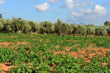 messinia: Rural greek landscape  Potato field against olive garden, Messinia, Peloponnese, Greece