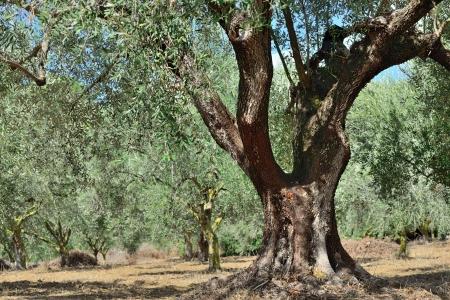 messinia: Olive trees grove in countryside  Kalamata, Messinia, Greece