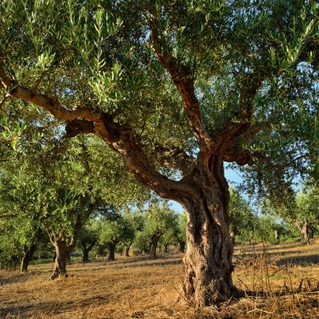 Olive trees under bright evening sunlight  Kalamata, Messinia, Greece