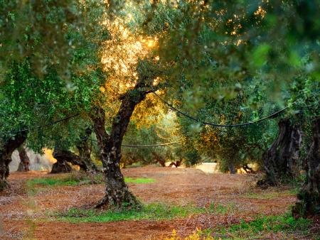 Fairy olive grove, old tree with a face on the trunk entangled hose for watering at sunset  Greece photo