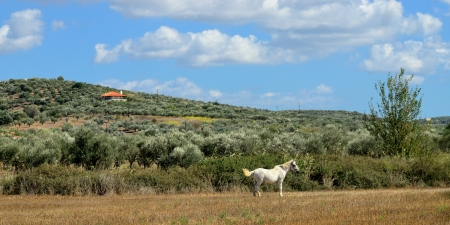 messenia: Rural landscape with white horse and olive garden  Messenia, Greece Stock Photo