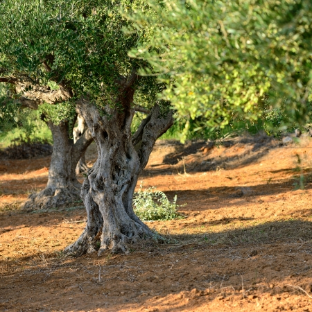 Trunk of old olive tree  Olive grove, Kalamata, Messinia, Greece photo