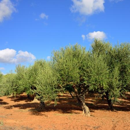 kalamata: Olive trees under bright sunlight  Kalamata, Messinia, Greece Stock Photo