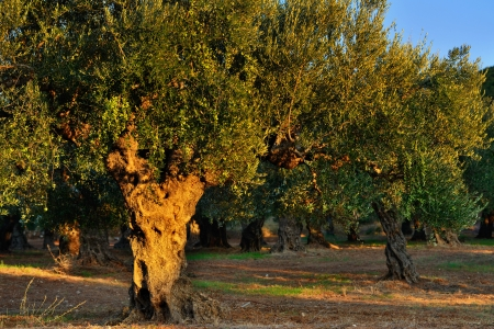 messinia: Old olove tree under bright beams of  sunset light  Kalamata, Messinia, Greece