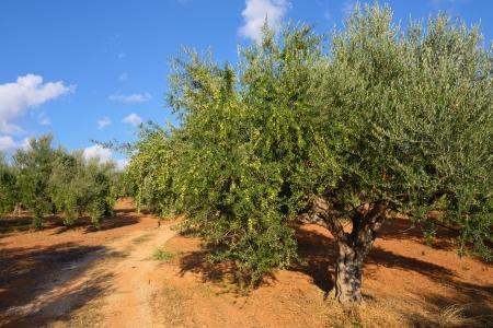 messinia: Olive trees under bright sunlight  Kalamata, Messinia, Greece Stock Photo