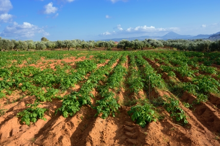 Rural greek landscape  Potato field against olive garden, Messinia, Peloponnese, Greece photo