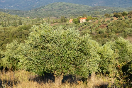 messenia: Classical rural landscape with olive trees garden and farmhouse in Messenia, Peloponnese; Greece Stock Photo