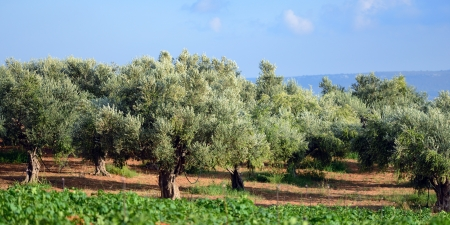 Olive trees under bright sunlight  Kalamata, Messinia, Greece photo