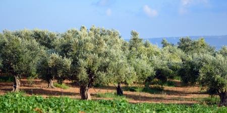 Olive trees under bright sunlight  Kalamata, Messinia, Greece Stock Photo