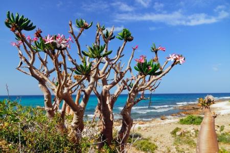Flowering bottle tree is endemic tree adenium obesum of Socotra Island