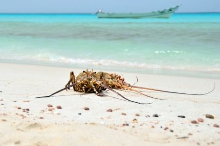 clawed: Clawed lobsters on the sandy beach