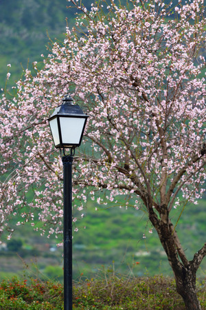 Streetlight against almond tree blooming at spring morning photo